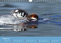 Gänsesäger - alleinerziehende Mütter im Schlosspark Nymphenburg (Wandkalender 2019 DIN A4 quer) - Produktdetailbild 1