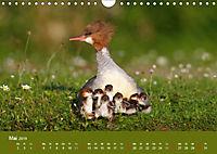 Gänsesäger - alleinerziehende Mütter im Schlosspark Nymphenburg (Wandkalender 2019 DIN A4 quer) - Produktdetailbild 5