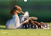 Gänsesäger - alleinerziehende Mütter im Schlosspark Nymphenburg (Wandkalender 2019 DIN A4 quer) - Produktdetailbild 8