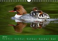 Gänsesäger - alleinerziehende Mütter im Schlosspark Nymphenburg (Wandkalender 2019 DIN A4 quer) - Produktdetailbild 7