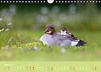 Gänsesäger - alleinerziehende Mütter im Schlosspark Nymphenburg (Wandkalender 2019 DIN A4 quer) - Produktdetailbild 6