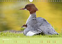 Gänsesäger - alleinerziehende Mütter im Schlosspark Nymphenburg (Wandkalender 2019 DIN A4 quer) - Produktdetailbild 12