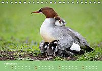 Gänsesäger - alleinerziehende Mütter im Schlosspark Nymphenburg (Tischkalender 2019 DIN A5 quer) - Produktdetailbild 2