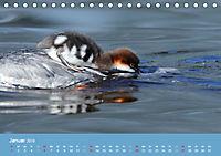 Gänsesäger - alleinerziehende Mütter im Schlosspark Nymphenburg (Tischkalender 2019 DIN A5 quer) - Produktdetailbild 1