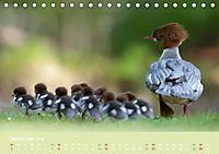 Gänsesäger - alleinerziehende Mütter im Schlosspark Nymphenburg (Tischkalender 2019 DIN A5 quer) - Produktdetailbild 9