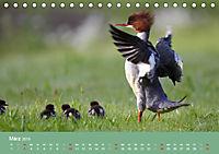 Gänsesäger - alleinerziehende Mütter im Schlosspark Nymphenburg (Tischkalender 2019 DIN A5 quer) - Produktdetailbild 3