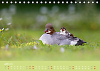 Gänsesäger - alleinerziehende Mütter im Schlosspark Nymphenburg (Tischkalender 2019 DIN A5 quer) - Produktdetailbild 6