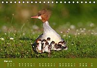 Gänsesäger - alleinerziehende Mütter im Schlosspark Nymphenburg (Tischkalender 2019 DIN A5 quer) - Produktdetailbild 5