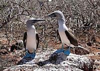 Galápagos - tierisch gut (Wandkalender 2019 DIN A2 quer) - Produktdetailbild 1