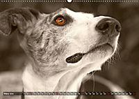 Galgo eye-catcher (Wandkalender 2019 DIN A2 quer) - Produktdetailbild 3