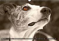 Galgo eye-catcher (Wandkalender 2019 DIN A3 quer) - Produktdetailbild 3