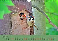 Gefiederte Gartengäste - Spatzenleben (Wandkalender 2019 DIN A4 quer) - Produktdetailbild 4