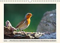 Gefiederte Schönheiten - Das Rotkehlchen (Wandkalender 2019 DIN A4 quer) - Produktdetailbild 7