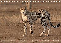 Geparden - Die Schönheiten Afrikas (Tischkalender 2019 DIN A5 quer) - Produktdetailbild 1