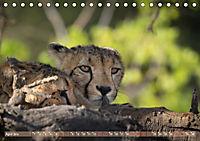 Geparden - Die Schönheiten Afrikas (Tischkalender 2019 DIN A5 quer) - Produktdetailbild 4