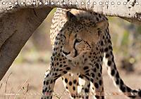 Geparden - Die Schönheiten Afrikas (Tischkalender 2019 DIN A5 quer) - Produktdetailbild 12