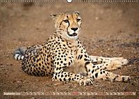 Geparden - Die Schönheiten Afrikas (Wandkalender 2019 DIN A2 quer) - Produktdetailbild 9