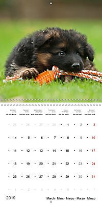 German Shepherd Puppies (Wall Calendar 2019 300 × 300 mm Square) - Produktdetailbild 3