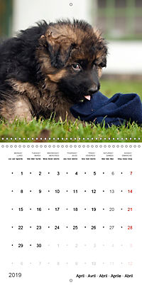 German Shepherd Puppies (Wall Calendar 2019 300 × 300 mm Square) - Produktdetailbild 4