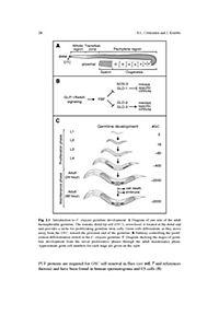 Germline Stem Cells - Produktdetailbild 2
