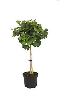 mittelmeer winterschneeball zum st mmchen gezogen wei braun bl hend 2 pflanzen. Black Bedroom Furniture Sets. Home Design Ideas
