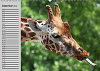 Giraffen. Dem Himmel so nah (Wandkalender 2019 DIN A2 quer) - Produktdetailbild 7