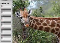 Giraffen. Dem Himmel so nah (Wandkalender 2019 DIN A2 quer) - Produktdetailbild 6
