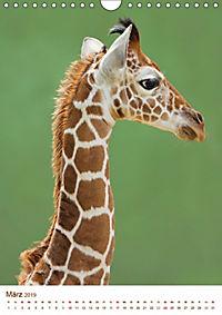 Giraffen: Schlanke Schönheiten aus Afrika (Wandkalender 2019 DIN A4 hoch) - Produktdetailbild 3