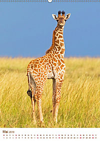 Giraffen: Schlanke Schönheiten aus Afrika (Wandkalender 2019 DIN A2 hoch) - Produktdetailbild 5