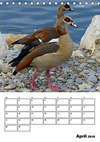Glückliche Gänse (Tischkalender 2019 DIN A5 hoch) - Produktdetailbild 4