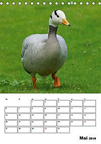 Glückliche Gänse (Tischkalender 2019 DIN A5 hoch) - Produktdetailbild 5
