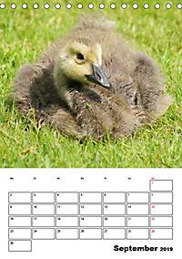 Glückliche Gänse (Tischkalender 2019 DIN A5 hoch) - Produktdetailbild 9
