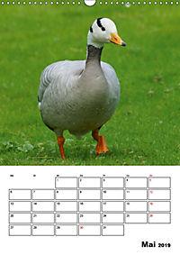 Glückliche Gänse (Wandkalender 2019 DIN A3 hoch) - Produktdetailbild 5