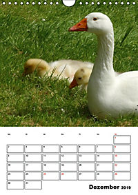 Glückliche Gänse (Wandkalender 2019 DIN A4 hoch) - Produktdetailbild 12
