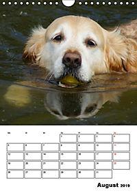 Glücklicher Golden Retriever (Wandkalender 2019 DIN A4 hoch) - Produktdetailbild 8