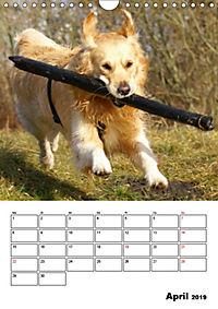 Glücklicher Golden Retriever (Wandkalender 2019 DIN A4 hoch) - Produktdetailbild 4