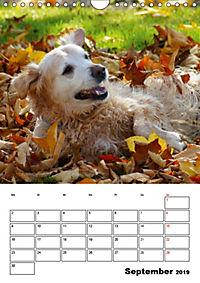 Glücklicher Golden Retriever (Wandkalender 2019 DIN A4 hoch) - Produktdetailbild 9