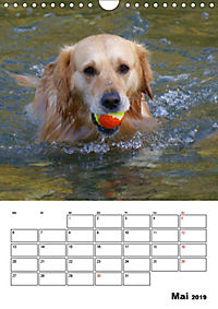 Glücklicher Golden Retriever (Wandkalender 2019 DIN A4 hoch) - Produktdetailbild 5