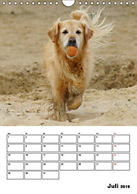 Glücklicher Golden Retriever (Wandkalender 2019 DIN A4 hoch) - Produktdetailbild 7