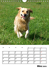 Glücklicher Golden Retriever (Wandkalender 2019 DIN A4 hoch) - Produktdetailbild 3