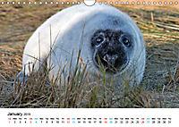 Grey Seal Pups of Donna Nook (Wall Calendar 2019 DIN A4 Landscape) - Produktdetailbild 1
