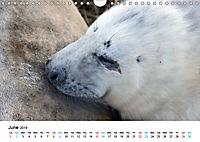 Grey Seal Pups of Donna Nook (Wall Calendar 2019 DIN A4 Landscape) - Produktdetailbild 6
