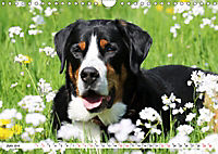Großer Schweizer Sennenhund (Wandkalender 2019 DIN A4 quer) - Produktdetailbild 6