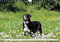 Grosser Schweizer Sennenhund (Wandkalender 2019 DIN A4 quer) - Produktdetailbild 4