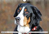Großer Schweizer Sennenhund (Wandkalender 2019 DIN A4 quer) - Produktdetailbild 9