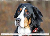 Großer Schweizer Sennenhund (Wandkalender 2019 DIN A3 quer) - Produktdetailbild 9