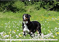 Großer Schweizer Sennenhund (Wandkalender 2019 DIN A2 quer) - Produktdetailbild 4
