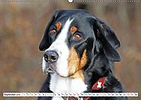 Großer Schweizer Sennenhund (Wandkalender 2019 DIN A2 quer) - Produktdetailbild 9