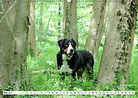 Großer Schweizer Sennenhund (Wandkalender 2019 DIN A2 quer) - Produktdetailbild 5