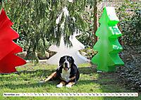 Großer Schweizer Sennenhund (Wandkalender 2019 DIN A2 quer) - Produktdetailbild 11